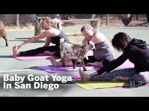 San Diego's Goat Yoga   San Diego Union-Tribune