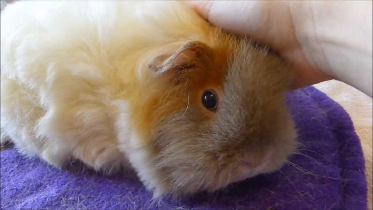 Tips For Trimming Your Long Haired Guinea Pig Youtube