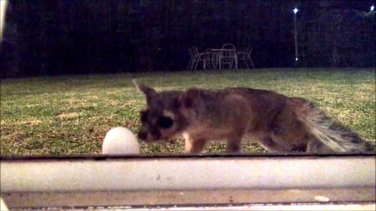 Cacomixtle comiendose un huevo en mi jardin youtube - Como cuidar un jardin ...