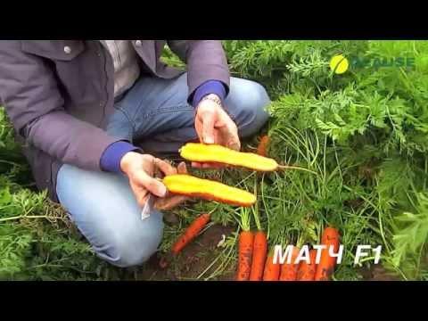 Обзор моркови для хранения МАТЧ F1, CLAUSE