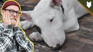 NEVER LET YOUR BULL TERRIER EAT THIS!!!!