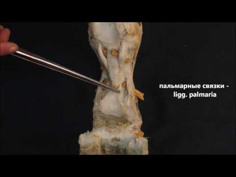 пястно-фаланговый, проксимальный и дистальный межфаланговые суставы