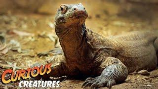 Komodo Dragon | Curious Creatures