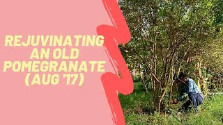 Trees at Aanandaa | Rejuvenating an Overgrown Pomegranate