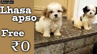 Free!  lhasa apso puppies  for adoption   shanu pets and farm