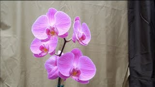 Dazzling Orchid Flowers & Plants - Phalaenopsis, dendrobium, gardening tips, home improvement