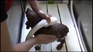 トイプードルの子犬を使ってシャンプー、肛門絞り、ドライイング(家庭...