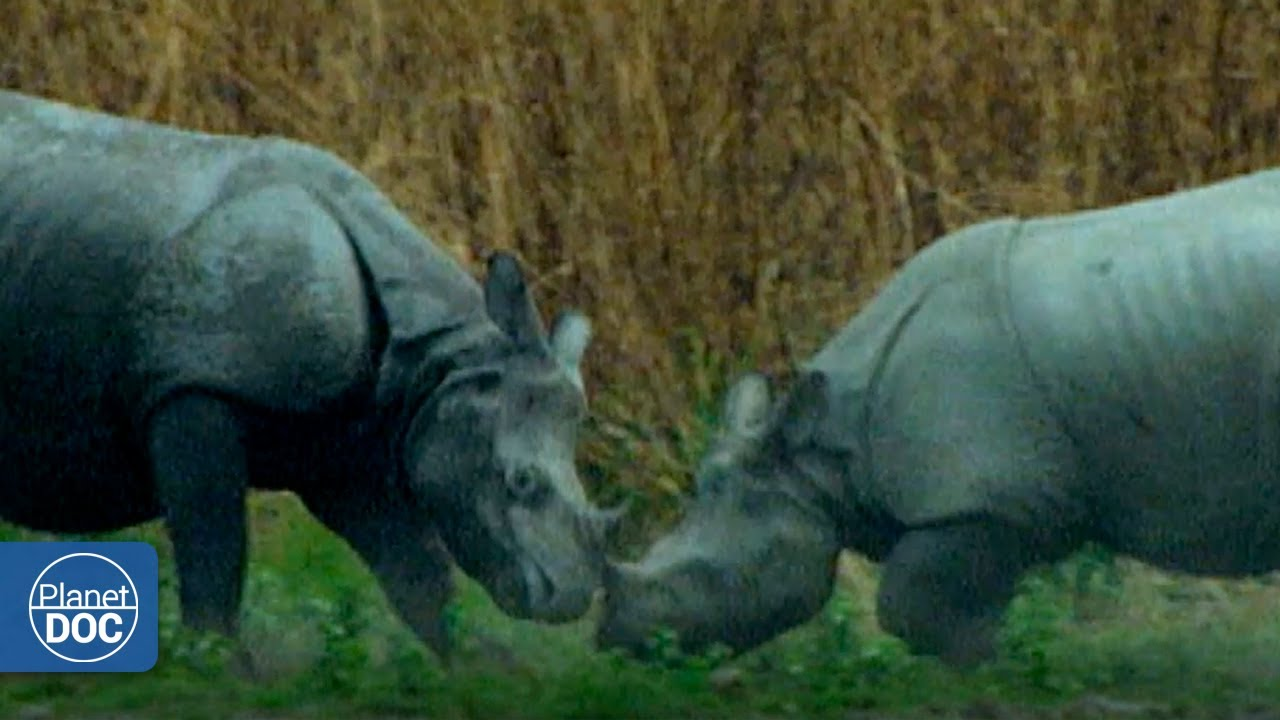 A trip to the past: the impressive story about the Indian rhinoceros and its day to day ...