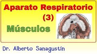 Aparato Respiratorio (3): Músculos de la respiración pulmonar