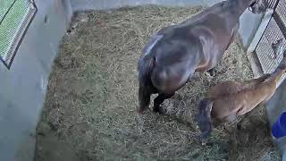 Foal Patrol Live Stream thumbnail