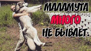 Самый ласковый и нежный зверь. Аляскинский Маламут.