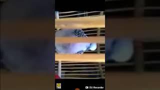 Chim cu thái gáy gọi tập bổi mới