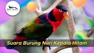 Suara Burung Nuri Kepala Hitam Durasi Panjang
