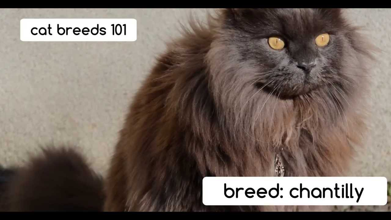 Chantilly Tiffany Cat Breeds 101