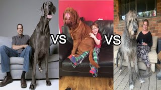 Biggest Dog  Neapolitan Mastiff |vs | Irish Wolfhound | vs | French Mastiff | Petz World