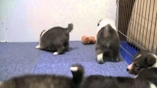 3月5日産まれのシェットランドシープドッグ。 男の子・2頭と女の子・...