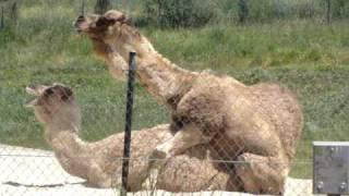 Oakland Zoo Camel Porn