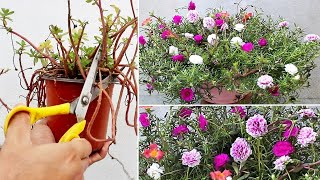 5 URGENT Things To Do On Portulaca NOW For HEAVY Flowering screenshot 3