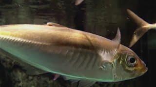 マアジ Ma-aji,Aji,Japanese jack mackerel  Trachurus japonicus  スズキ目スズキ亜目アジ科アジ亜科マアジ属