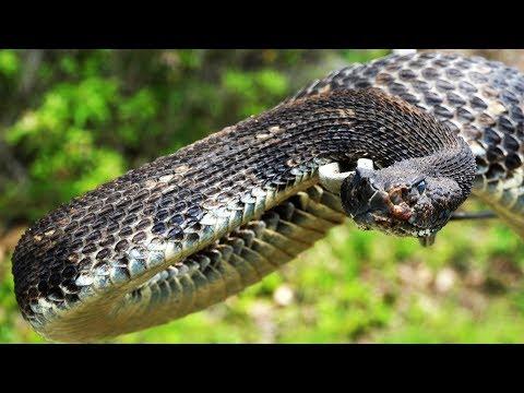 My BIGGEST Timber Rattlesnake Yet!  2017 Rattlesnake Hunting In Pennsylvania