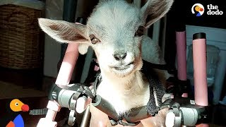 Baby Goat Born Without Front Legs Is The Spunkiest Little Thing | The Dodo