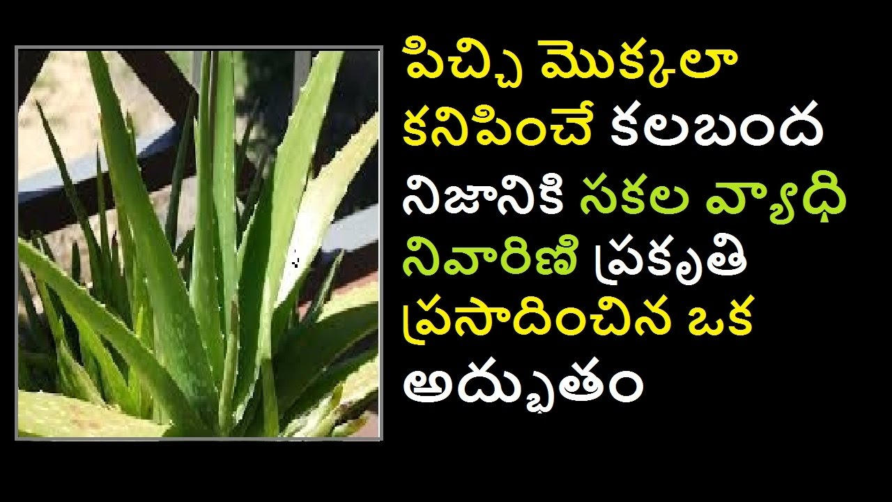 Aloe Vera కలబద Health Benefits Uses Of Aloe Vera Gel Drinking Aloe Vera Telugu Health Hub