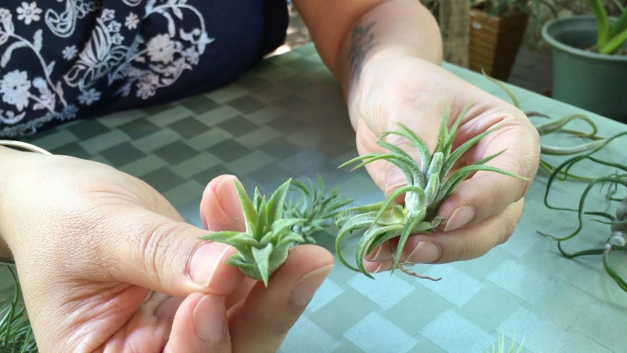 Air Plant Designs Presents Removing Air Plant Pups Youtube