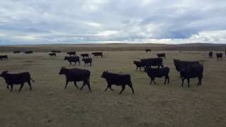 Moving Cattle with DJI Mavic Pro Drone