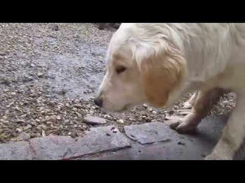 Raw Food / BARF For Dogs.Golden Retriever BARF/RAW diéta!Golden Retriever vs  Farha chicken!