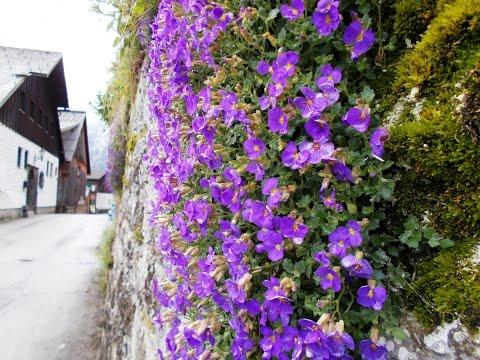 Viola - flowers on the wall - Fiołki