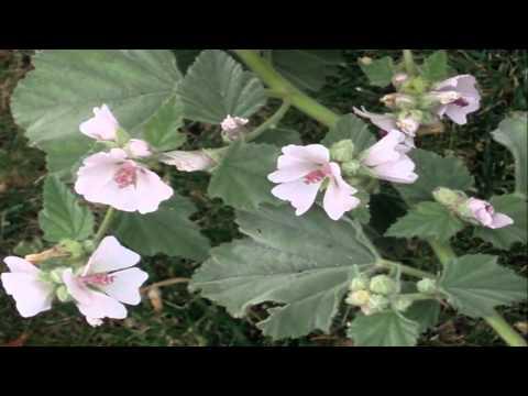 Алтей (Althaea Officinalis). Алтея лікарська