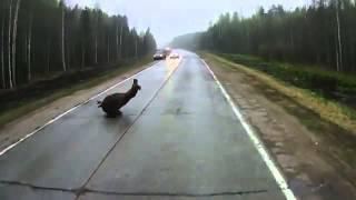 Лося занесло на трассе изза перегазовки