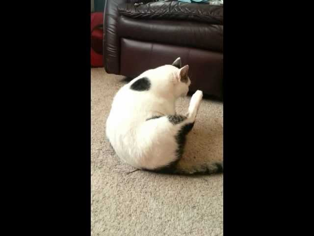 Fat cat trying to clean himself
