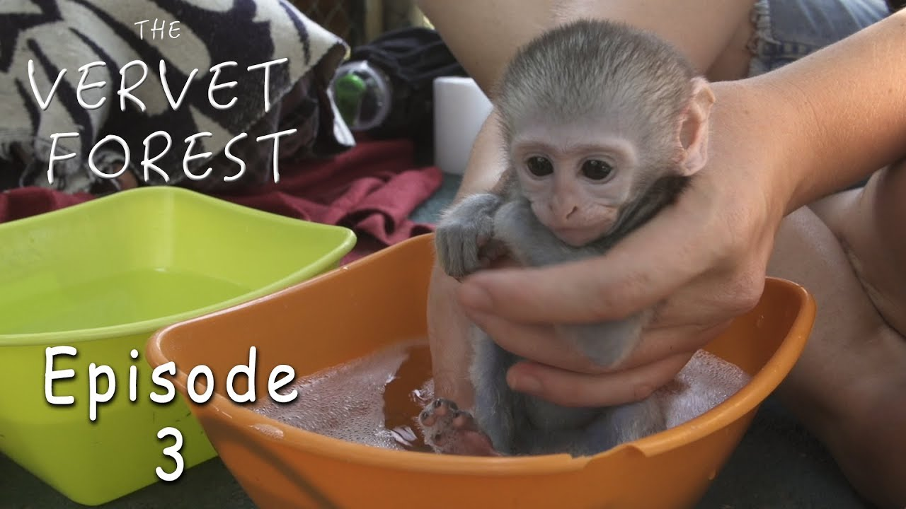 Download Orphan Baby Monkey's Groot and Joli Take A Bath - Ep. 3