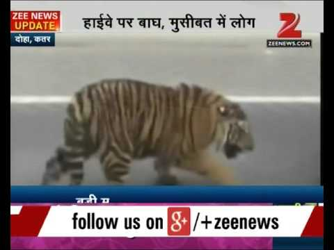 Tiger spotted roaming freely at Doha highway