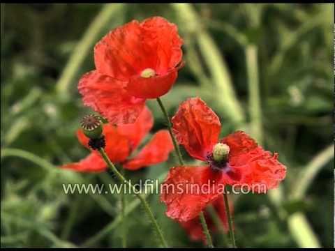 Poppy Flowers In An Indian Garden Youtube