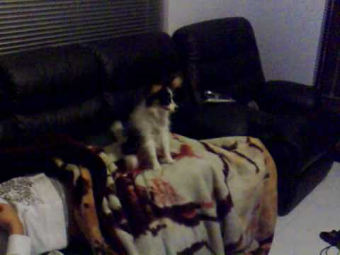 Papillon barks & growls at a movie on TV (Date Movie)