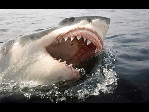 Great White Sharks in UK?
