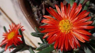 Best Flowering Succulent Plant - Ice Plant / Fire Wonder