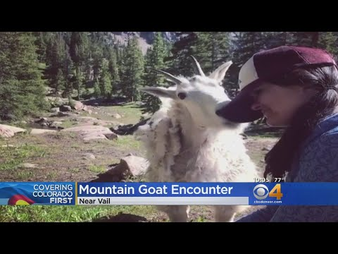 Colorado hiker licked by mountain goat