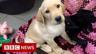The surprising science behind guide dog puppies - BBC News