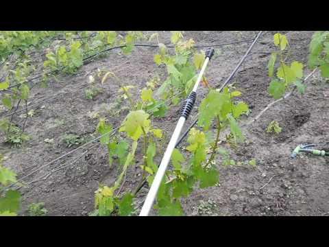 Виноград Тайфи: характеристики, описание, происхождение