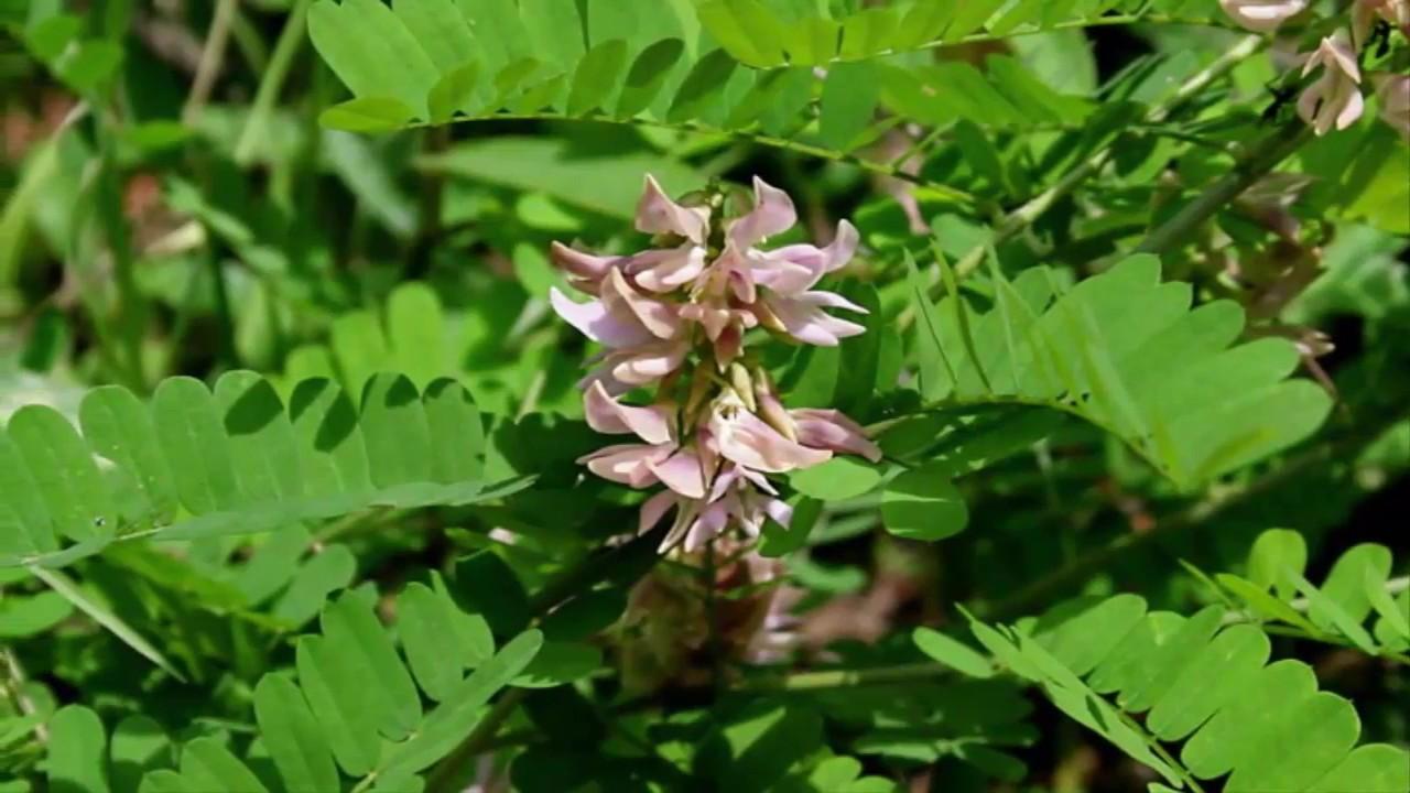 How To Plant Saga Tree How To Grow Abrus Precatorius Adenanthera