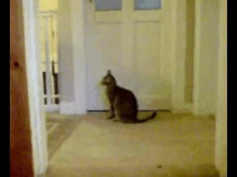 Noisy Oriental Cat