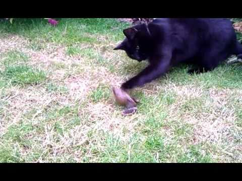 Cat and Squeaking Frog
