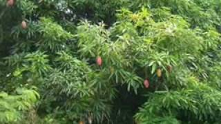 MANGO (National Fruit of Pakistan)