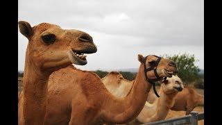 Australian Camel Facts - Milk, Meat & More! Summer Land Camels near Brisbane, Australia