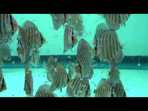 Discus Eating Adult Brine Shrimp  - Gwynnbrook Farm