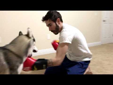 Boxing Day With A Boxing Dog