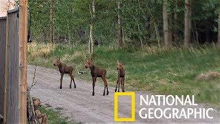 罕見畫面:來看看可愛的駝鹿三胞胎!《國家地理》雜誌